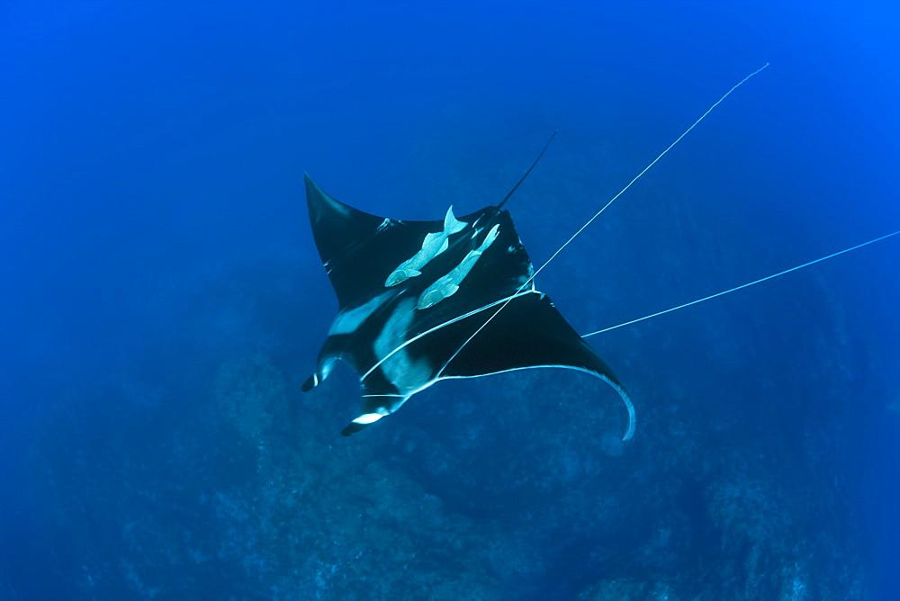 Sicklefin Mobula trapped by Rope, Mobula tarapacana, Azores, Princess Alice Bank, Atlantic Ocean, Portugal