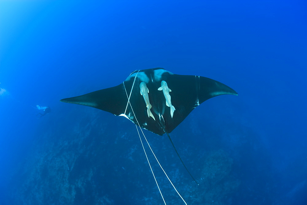 Sicklefin Mobula trapped by Rope, Mobula tarapacana, Azores, Princess Alice Bank, Atlantic Ocean, Portugal