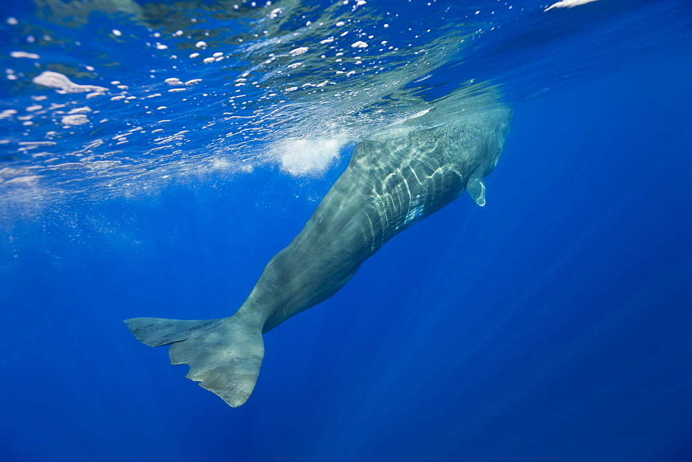 Sperm Whale, Physeter catodon, Azores, Atlantic Ocean, Portugal