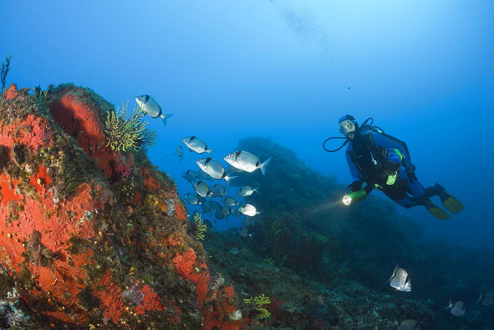 Diver and Two-banded Breams, Diplodus vulgaris, Tamariu, Costa Brava, Mediterranean Sea, Spain