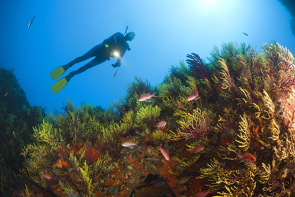 Diver over Reef with Anthias, Anthias anthias, Tamariu, Costa Brava, Mediterranean Sea, Spain
