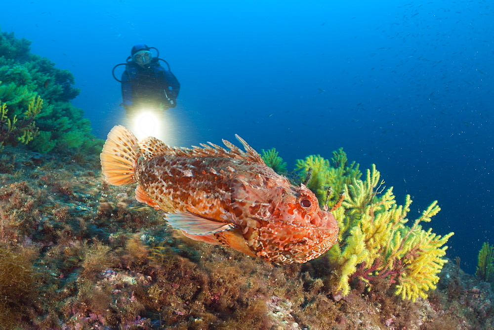Great Rockfish and Scuba Diver, Scorpaena scrofa, Tamariu, Costa Brava, Mediterranean Sea, Spain