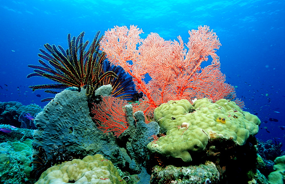 Coral Reef, corals, Papua New Guinea, Pacific ocean