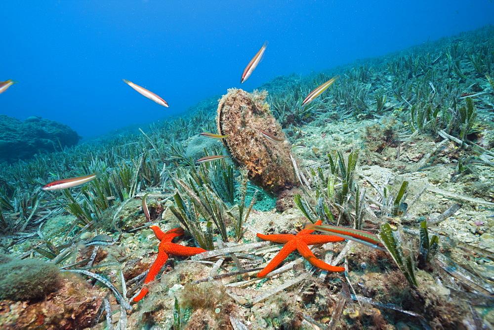 Noble Pen Shell, Pinna nobilis, Les Ferranelles, Medes Islands, Costa Brava, Mediterranean Sea, Spain