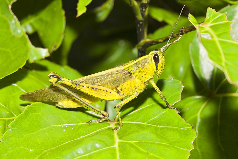 Grasshopper, Gomphocerinae, Peleliu Island, Micronesia, Palau