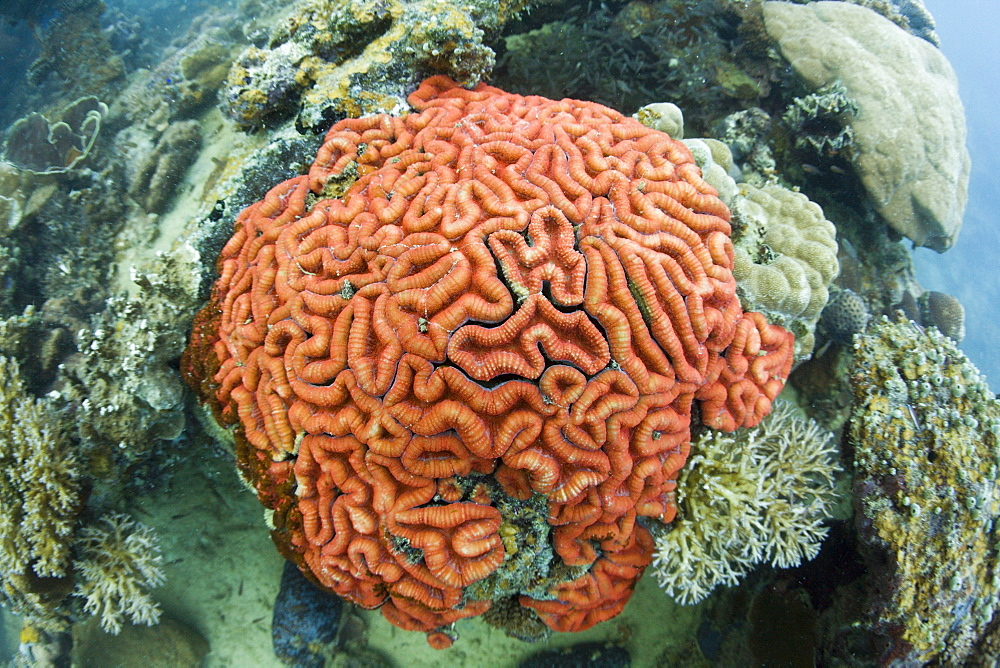 Coral Fluorescence of Brain Coral in Day Light, Micronesia, Palau