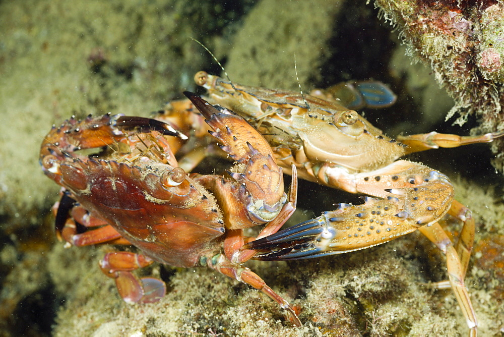 Mating Swimming Crab, Portunidae, Micronesia, Palau