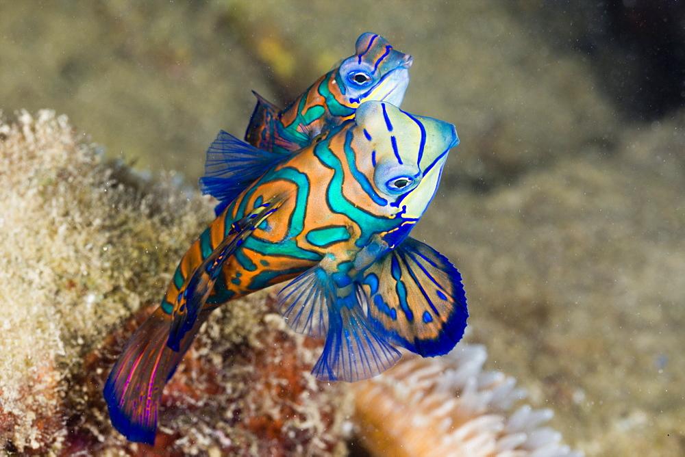 Mating Mandarinfish, Syhchiropus splendidus, Micronesia, Palau - 759-6696