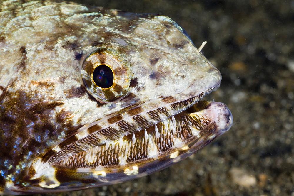 Sharp Teeth of Lizardfish, Saurida gracilis, Turtle Cove, Micronesia, Palau