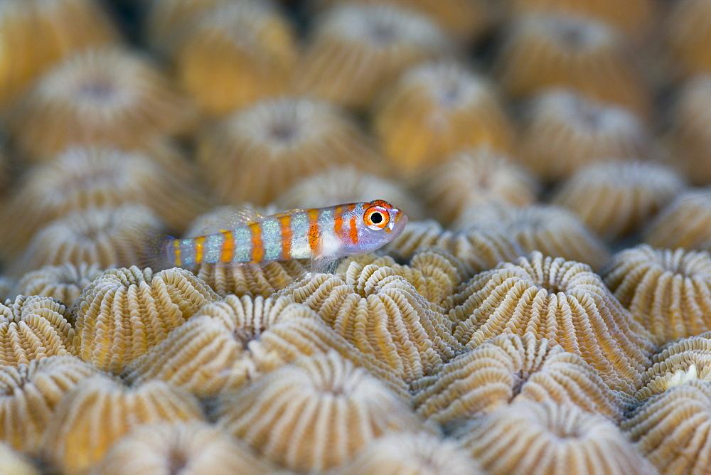 Striped Goby, Trimma cana, Turtle Cove, Micronesia, Palau