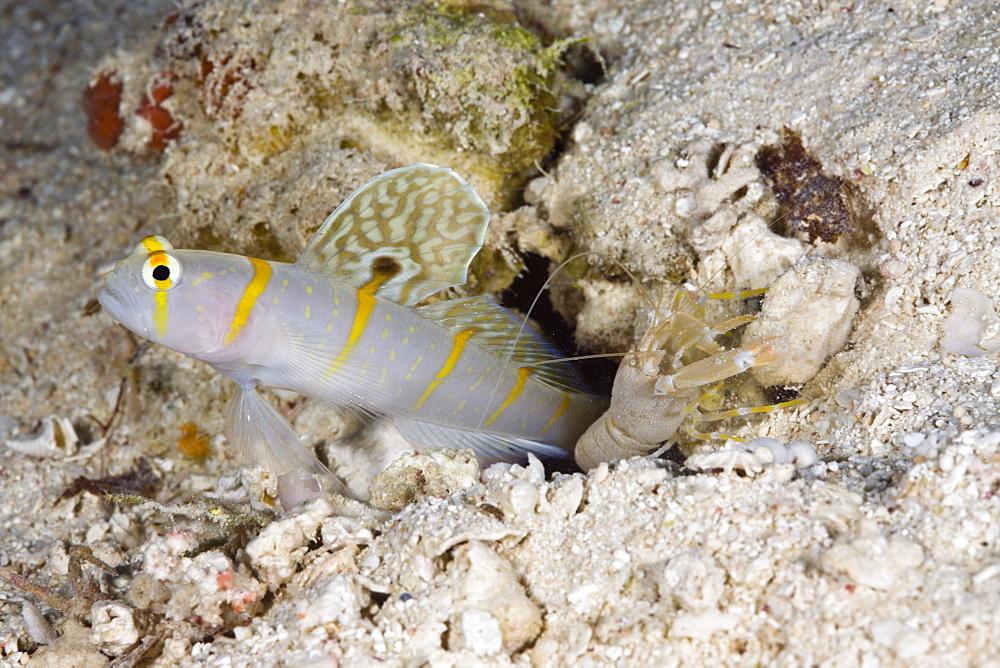Symbiotic between Randalls Prawn-Goby and Pistol Shrimp, Amblyeleotris randalli, Alpheus rapicida, Turtle Cove, Micronesia, Palau