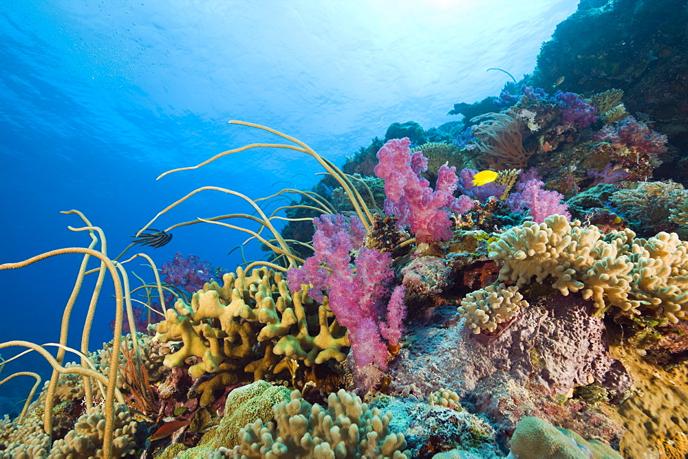 Reef with Sea Whips and Soft Corals, Junceella fragilis, Dendronephthya, Ulong Channel, Micronesia, Palau