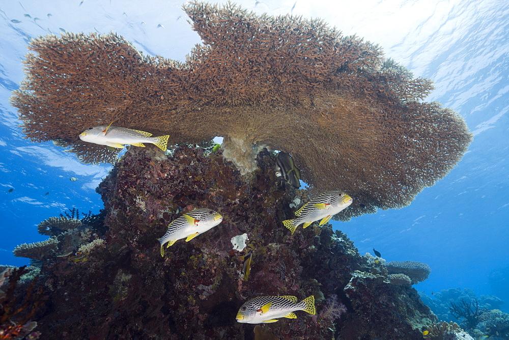 Diagonal-banded Sweetlips under Table Coral, Plectorhinchus lineatus, Ulong Channel, Micronesia, Palau