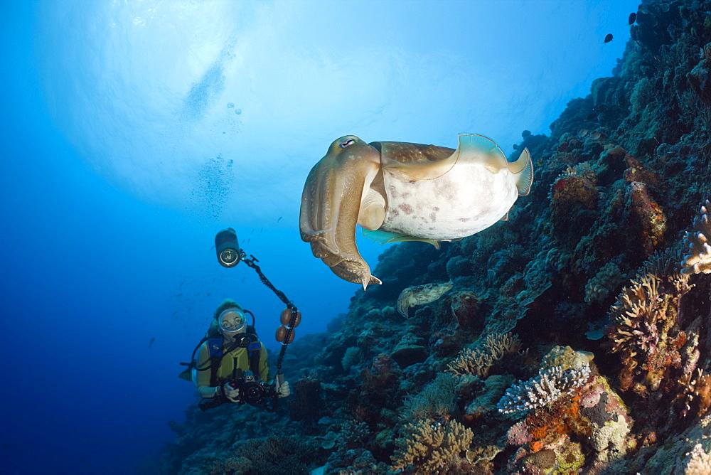 Diver and Broadclub Cuttlefish, Sepia latimanus, Micronesia, Palau