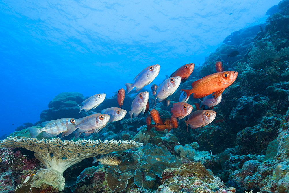 Group of Red Crescent-tail Bigeye, Priacanthus hamrur, Blue Corner, Micronesia, Palau