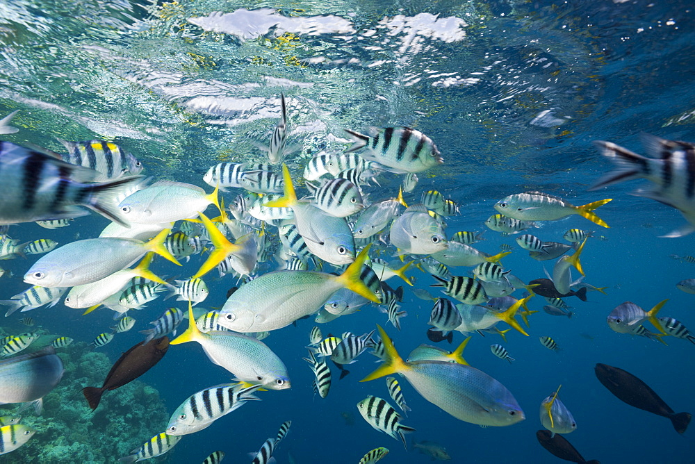 Colorfully schooling Fishes, Micronesia, Palau