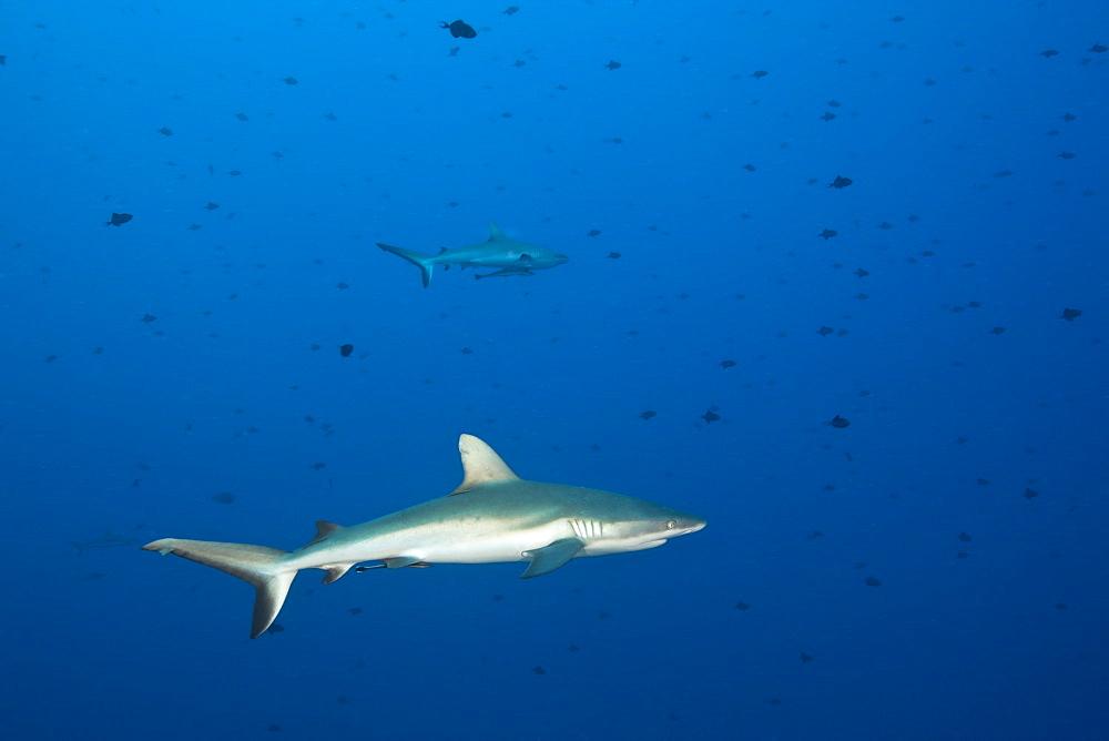 Grey Reef Sharks, Carcharhinus amblyrhynchos, Blue Corner, Micronesia, Palau
