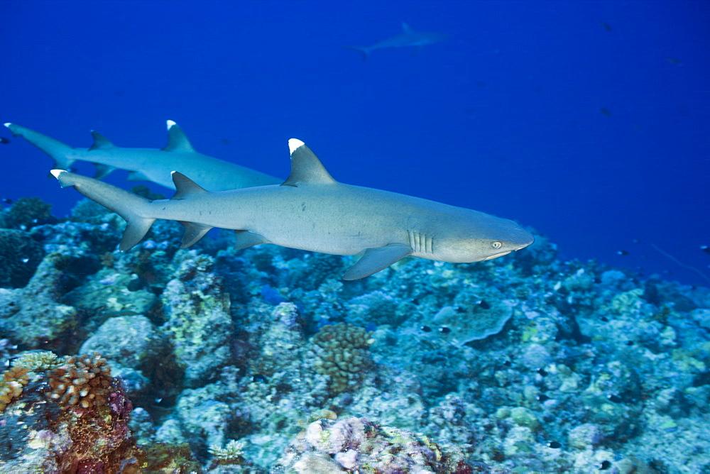 Whitetip Reef Sharks, Triaenodon obesus, Blue Corner, Micronesia, Palau