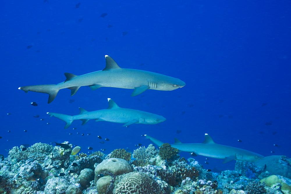 Group of Whitetip Reef Sharks, Triaenodon obesus, Blue Corner, Micronesia, Palau