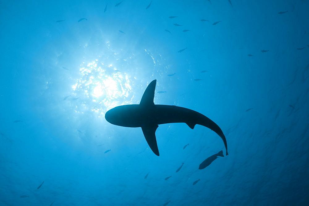 Grey Reef Shark, Carcharhinus amblyrhynchos, Blue Corner, Micronesia, Palau