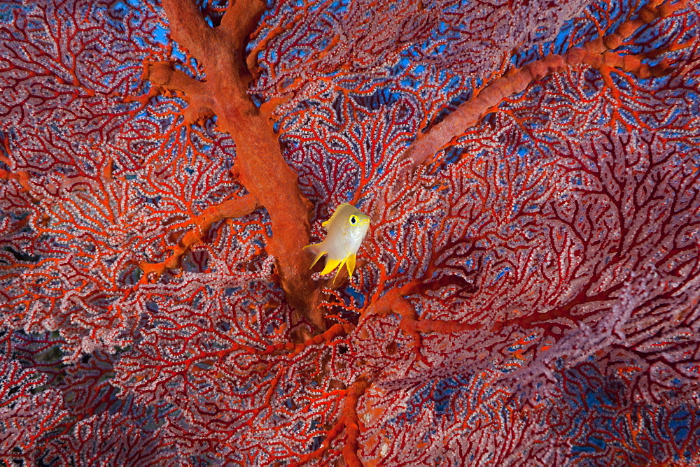 Golden Damsel and Sea Fan, Amblyglyphidodon aureus, Peleliu Wall, Micronesia, Palau