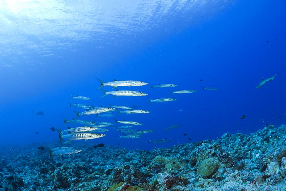 Blackfin Barradudas, Sphyraena qenie, Blue Corner, Micronesia, Palau