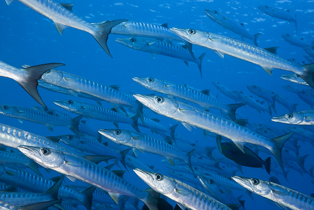 Group of Blackfin Barradudas, Sphyraena qenie, Blue Corner, Micronesia, Palau