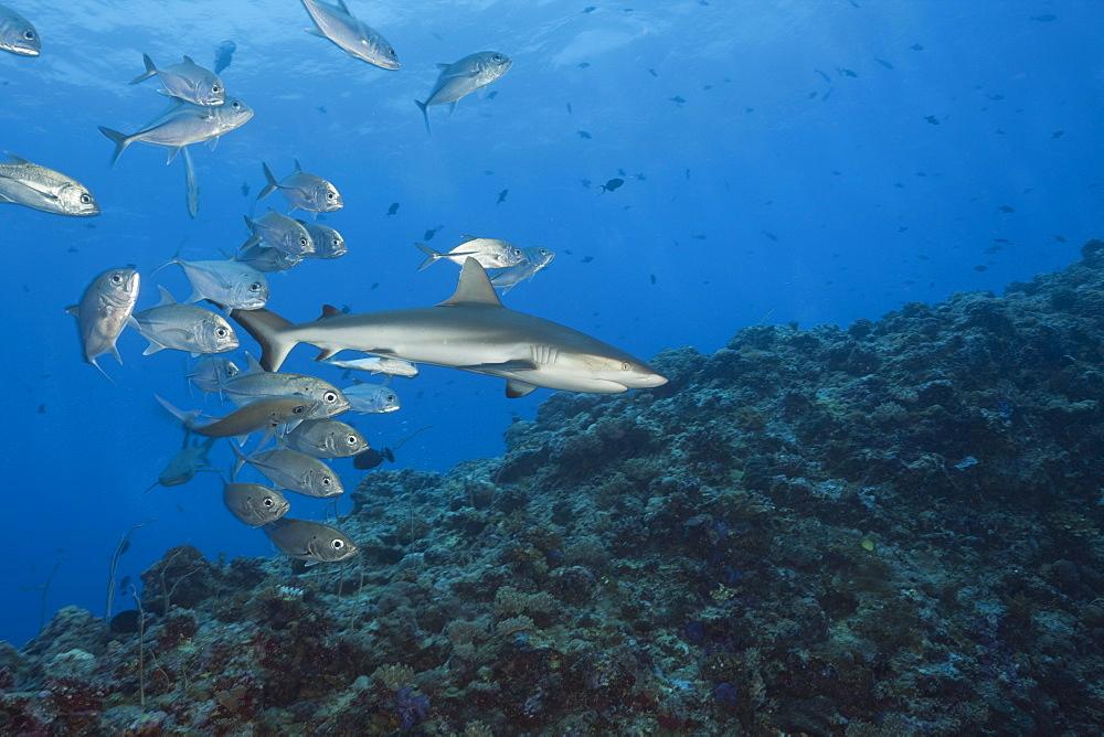 Jackfishes edge Grey Reef Shark, Carcharhinus amblyrhynchos, Blue Corner, Micronesia, Palau
