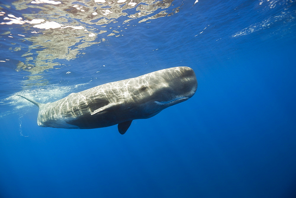 Sperm Whale, Physeter catodon, Lesser Antilles, Caribbean, Dominica