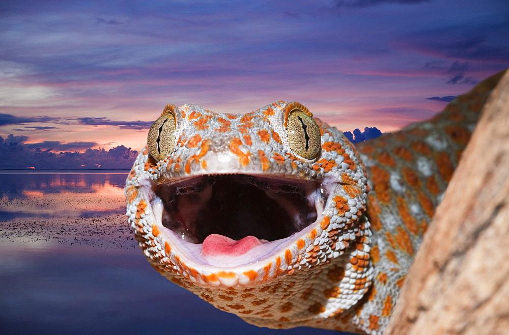 Tokay Gecko, Gekko gecko, West Papua, Misool, Indonesia - 759-7037