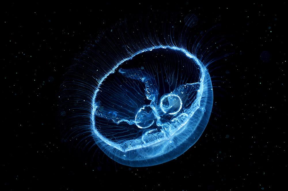 Moon Jellyfish, Aurelia aurita, Norway, Atlantic ocean, north atlantic ocean