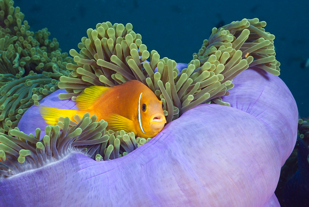 Maldives Anemonefish in Magnificent Anemone, Amphiprion nigripes, Heteractis magnifica, North Ari Atoll, Maldives