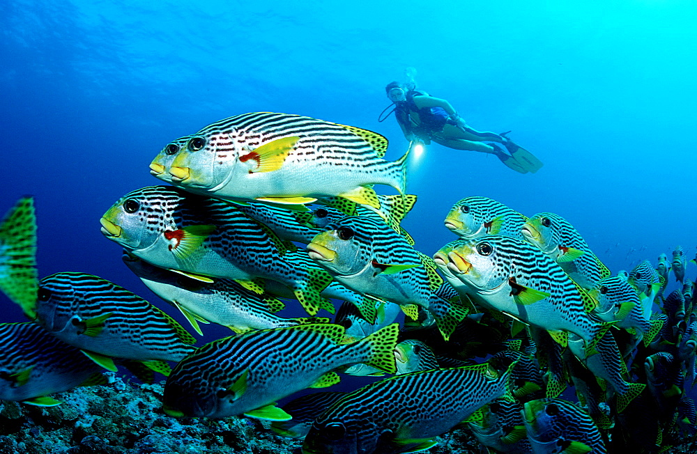 Diagonal-banded sweetlips and sucba diver, Plectorhinchus lineatus, Australia, Pacific Ocean, Coral Sea