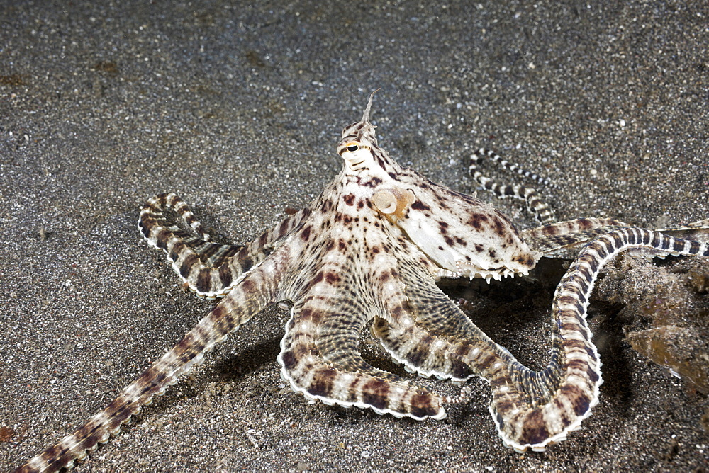 Mimic Octopus, Thaumoctopus mimicus, Lembeh Strait, North Sulawesi, Indonesia