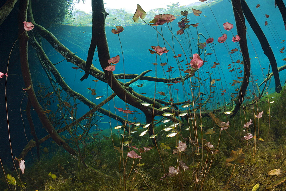 Water Lilies and Shoal of Tetra in Cenote, Astyanax aeneus, Tulum, Yucatan Peninsula, Mexico