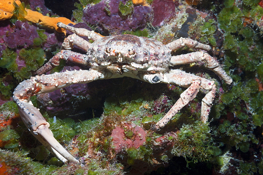 Reef Spider Crab, Mithrax spinosissimus, Cozumel, Caribbean Sea, Mexico