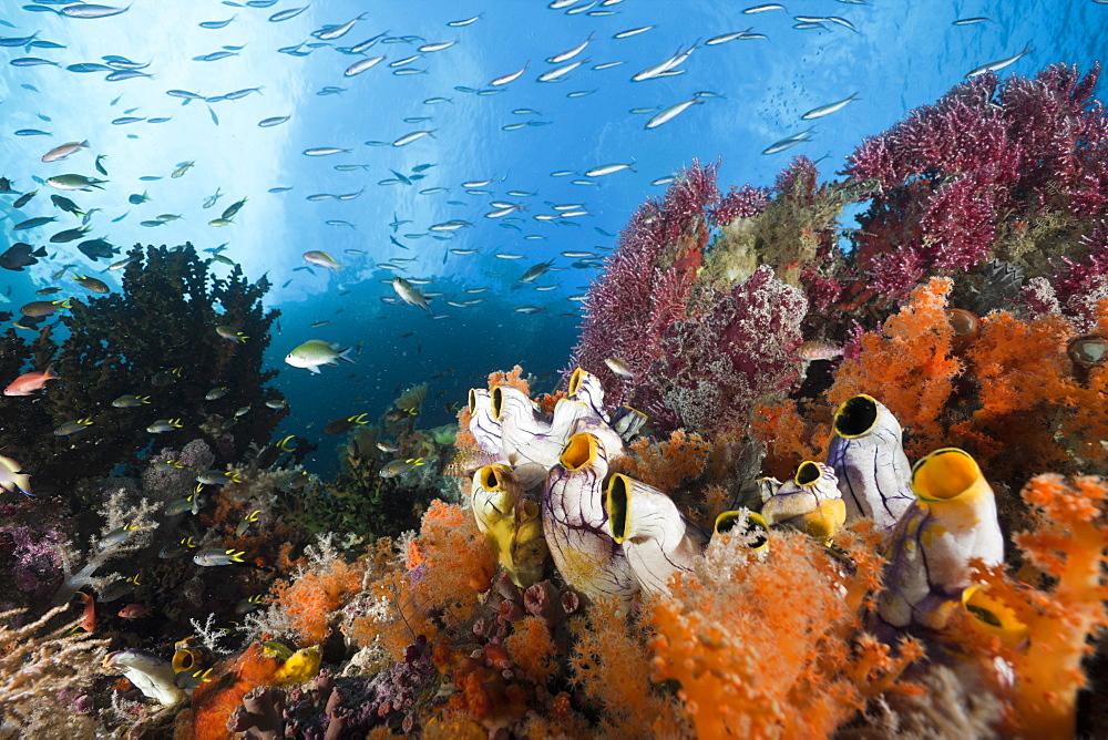 Healthy Coral Reef, Raja Ampat, West Papua, Indonesia