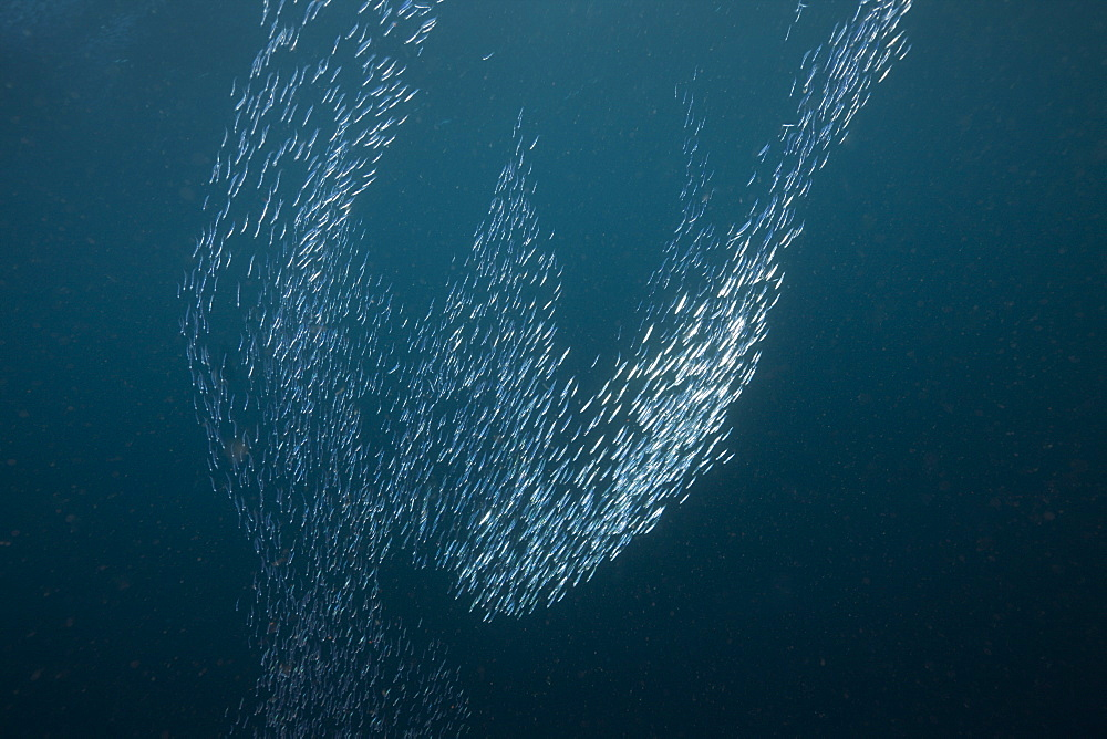 Shoal of Silversides Formation, Atherinidae, Raja Ampat, West Papua, Indonesia
