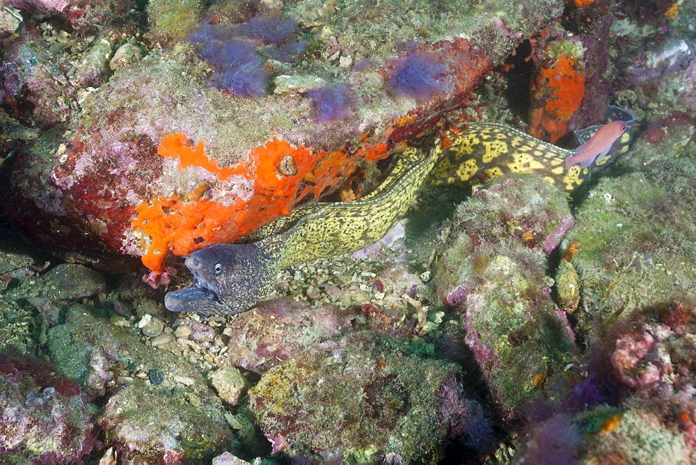 Mediterranean Moray Eel (Muraena helena), Cap de Creus, Costa Brava, Spain, Mediterranean, Europe