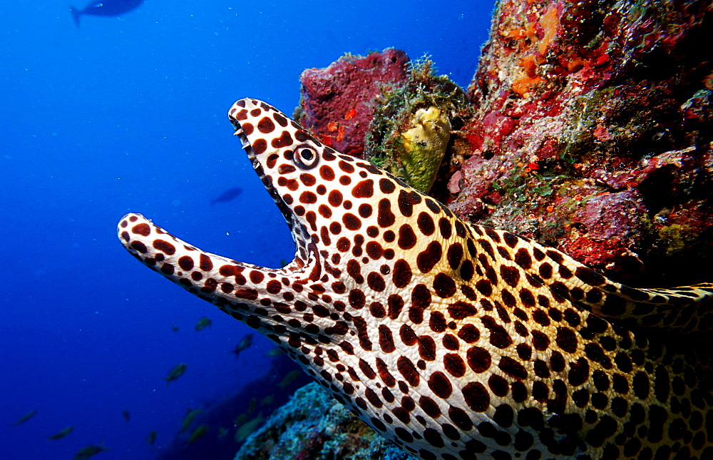 Black spotted moray, Gymnothorax melanospilos, Maldives Island, Indian Ocean, Ari Atol