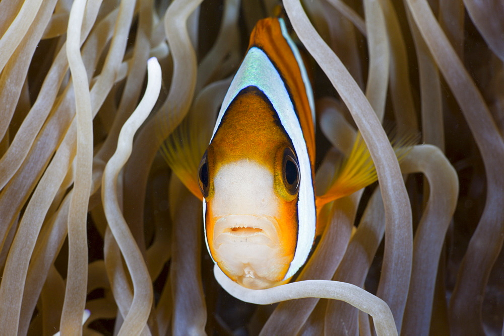 Clarks Anemonefish (Amphiprion clarkii), Amed, Bali, Indonesia, Southeast Asia, Asia