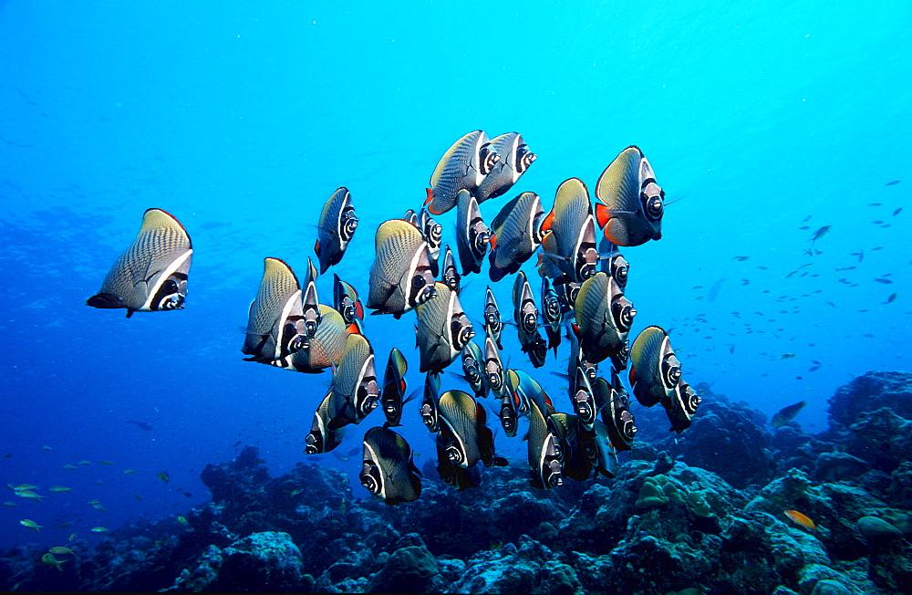 butterflyfish, Chaetodon collare, Maldives Island, Indian Ocean, Ari Atol