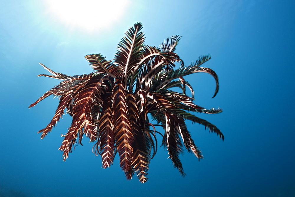 Crinoid (Comantheria sp.) hovering over reef, Alam Batu, Bali, Indonesia, Southeast Asia, Asia