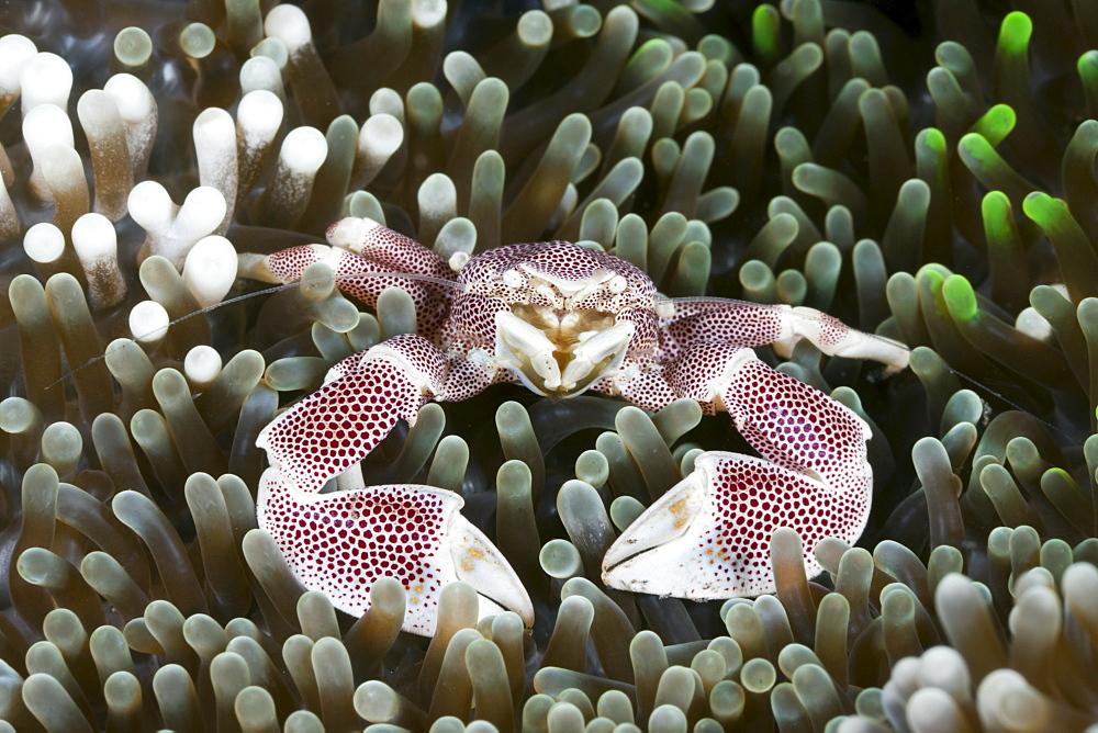 Porcelain crab (Neopetrolisthes maculatus) in anemone, Alam Batu, Bali, Indonesia, Southeast Asia, Asia