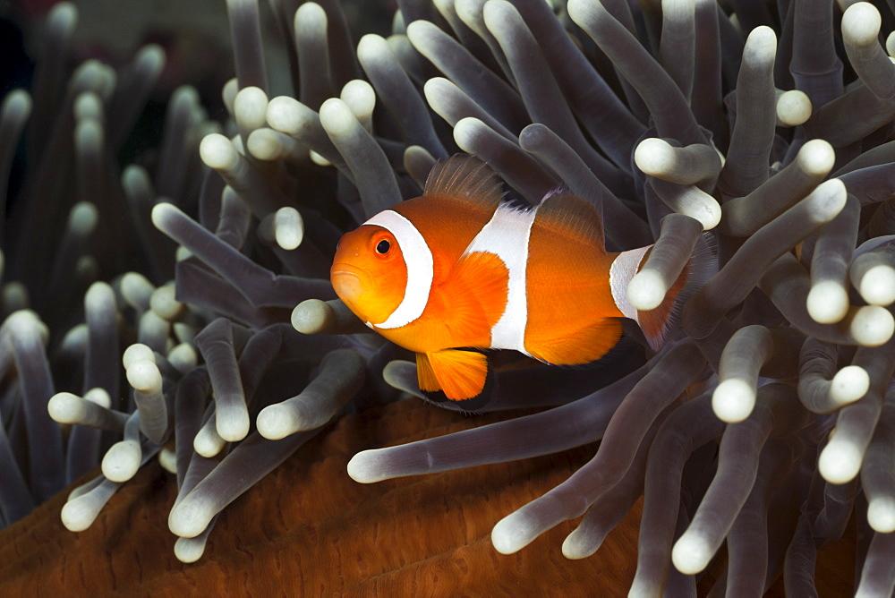 Clown anemonefish (Amphiprion ocellaris), Alam Batu, Bali, Indonesia, Southeast Asia, Asia