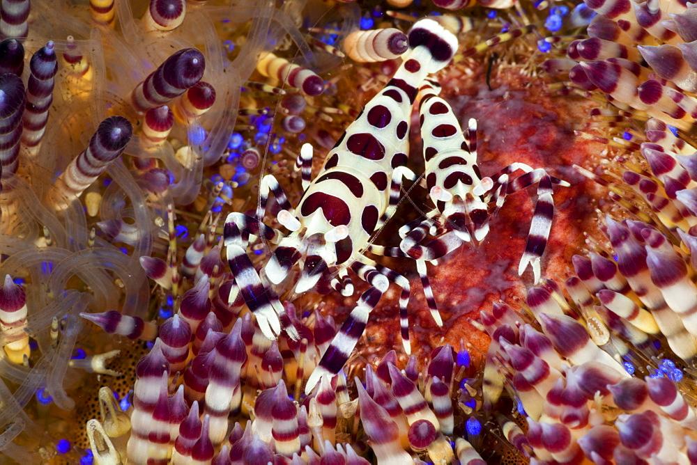 Commensal shrimps (Periclimenes colemani) on fire sea urchin, Alam Batu, Bali, Indonesia, Southeast Asia, Asia