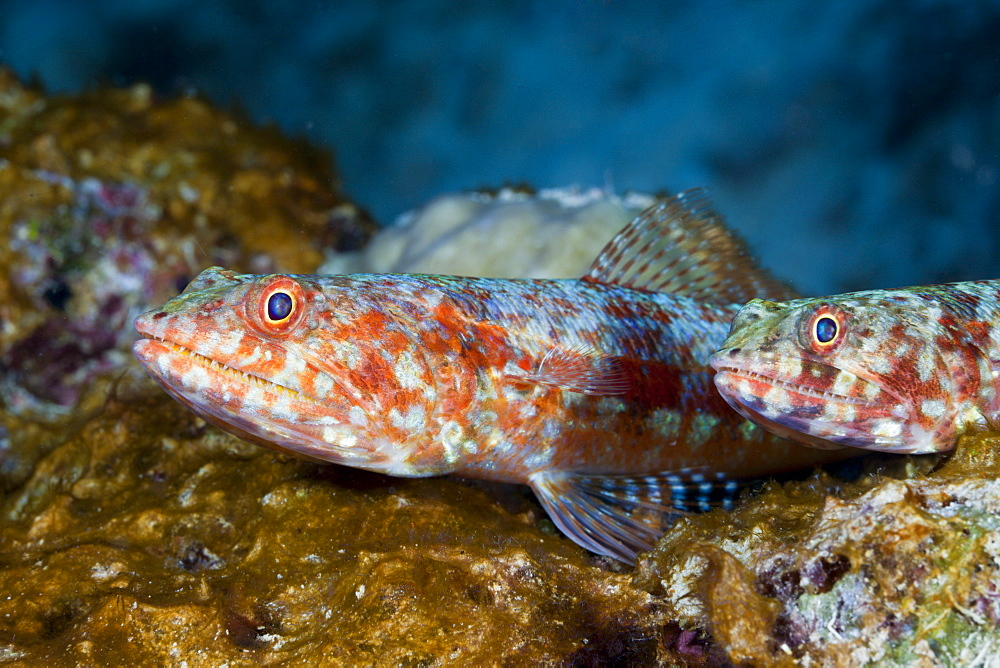 Reef lizardfish (Synodus variegatus), Namena Marine Reserve, Fiji, Pacific