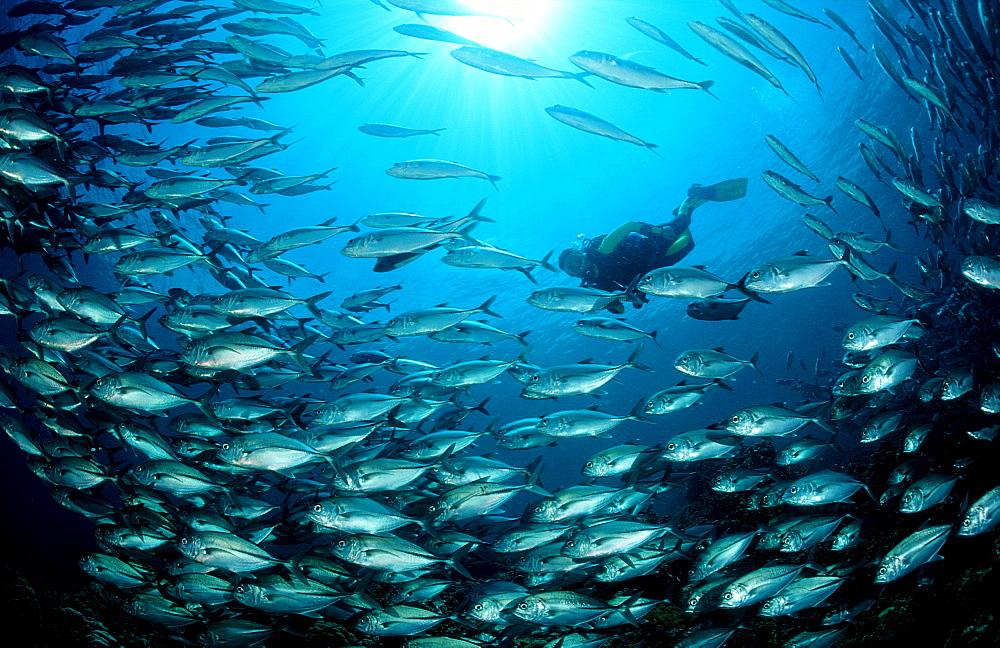 Bigeye trevally and scuba diver, Caranx sexfasciatus, Malaysia, Pazifik, Pacific ocean, Borneo, Sipadan