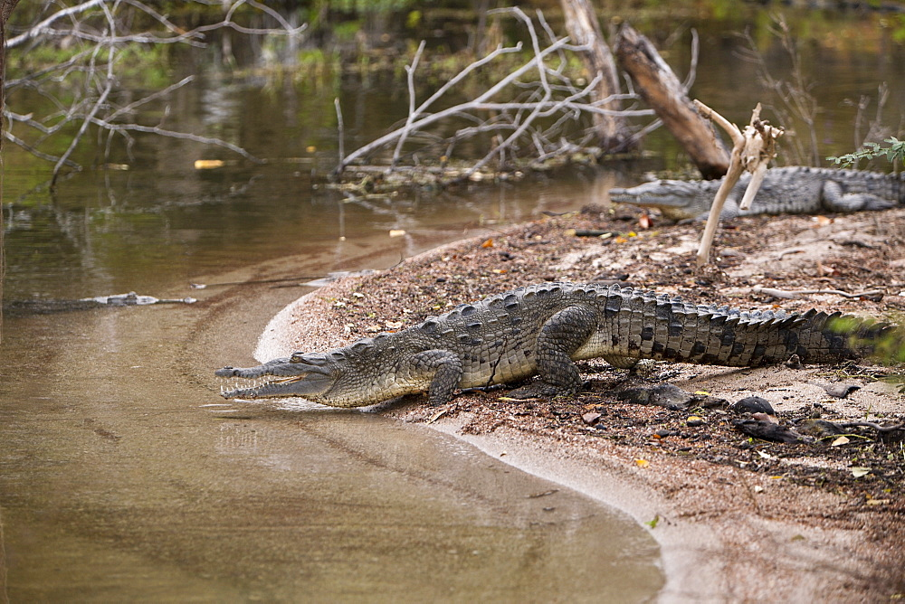 American crocodile (Crocodylus acutus) at salt lake Lago Enriquillo, Isla Cabritos National Park, Dominican Republic, West Indies, Central America