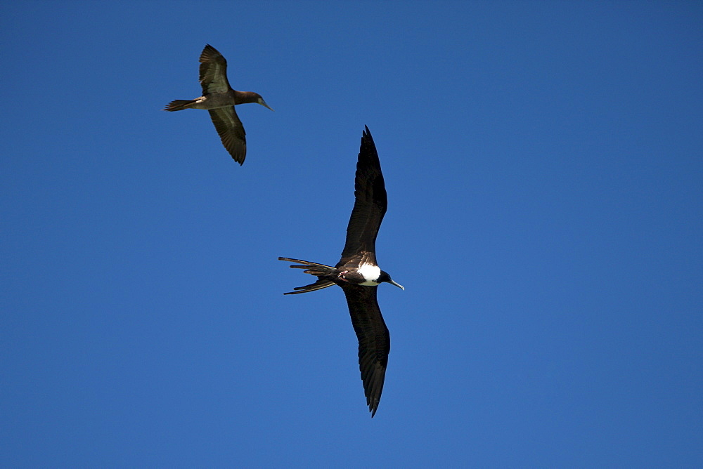 Female magnificent frigatebird (Fregata magnificens) in flight, Los Haitises National Park, Dominican Republic, West Indies, Central America